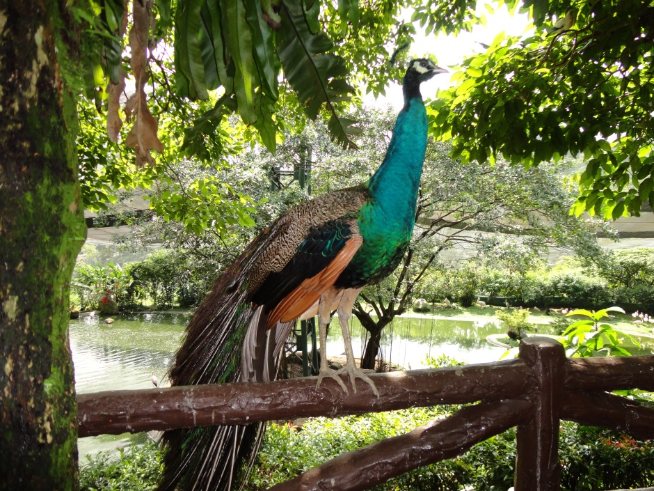 Peacock_at_Bird_Park