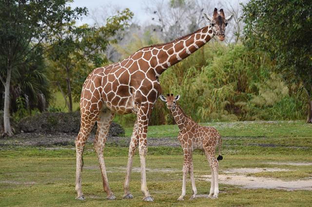 zoo girafe.jpg