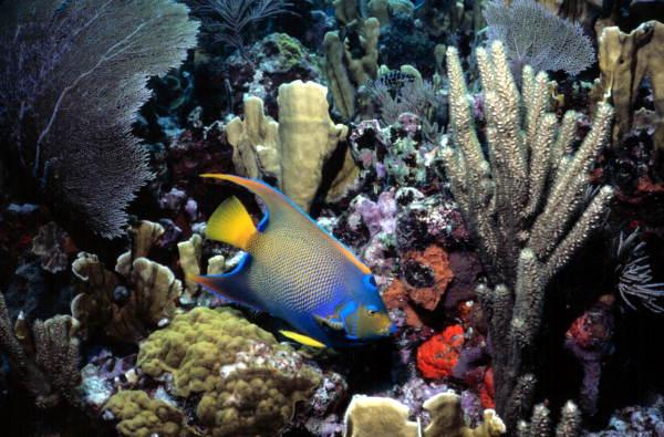 Queen_Angelfish_at_John_Pennekamp_Coral_Reef_State_Park_Key_Largo,_Florida
